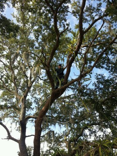 Sarasota Tree
