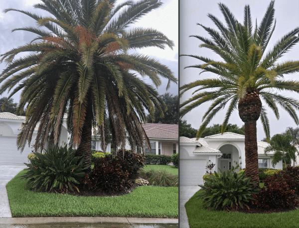 Palm Tree Trimming in Sarasota