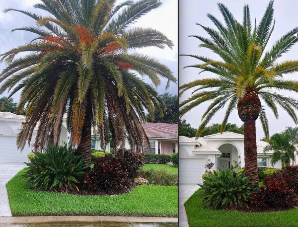 Tree Trimming before and after in Sarasota